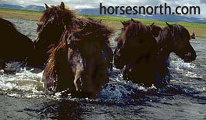 Picture a vacation or holiday on an Icelandic horse like these.